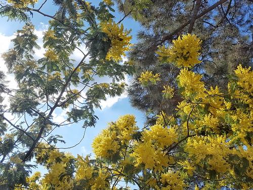 La mimosa és la porta gran de la primavera ...