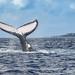 whale-watching-tonga15