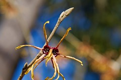 Witch-hazel its good for you! at least thats what Mom said:-) (ineedathis,The older I get the more fun I have....) Tags: witchhazel hamamelisintermediajelena αμαμηλίδα deciduous shrub tree garden nature winter nikond750 macro hbw bokeh flower stem buds bluesky