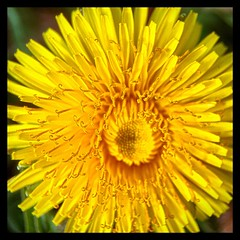 Something bright and cheery. (Kindle Girl) Tags: collegepark maryland metro commute sidewalk roadside macro iphone iphoneography iphone365 olloclip olloclipmacro flower dandelion yellow winter
