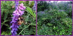 All Abuzz (FernShade) Tags: vancouver britishcolumbia canada westcoast pacificnorthwest stanleypark lostlagoon vetch wildflowers viciasativa