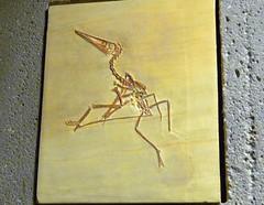 Pterodactylus antiquus P1040780 (martinfritzlar) Tags: senckenberg senckenbergnaturmuseum museum frankfurt fossil tier reptil flugsaurier pterosauria pterodactylidae pterodactylus pterodactylusantiquus reptile pterosaur pterodactyl