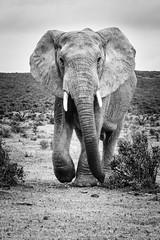 Aux abris !.jpg (BoCat31) Tags: nb éléphant animal mouvement afrique faunesauvage