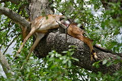 Impala killed by leopard ... (berniedup) Tags: lowersabie kruger impala leopard aepycerosmelampus taxonomy:binomial=aepycerosmelampus tree