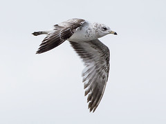 RING-BILLED GULL (nsxbirder) Tags: ohio immature ringbilledgull larusdelawarensis lucascounty metzgermarsh