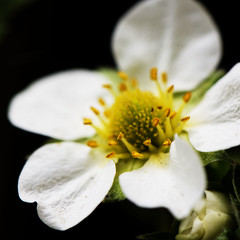 Strawberry flower 144-365-2013 (~Helen Cat) Tags: white flower macro nature petals strawberry may stamen bud day144 2013 365project 144365 day144365 3652013 365the2013edition 24may13 1443652013