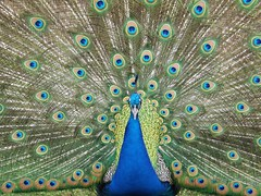 beautiful peacock (Snwy Owl) Tags: blue green feathers peacock vert bleu
