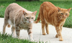 No one asked them to follow me (Kerri Lee Smith) Tags: red orange cats pets animals ginger beige buddies brothers tabby jimmy cream kitty siblings explore kitties buff tabbies buds felines bros mack sibs explored