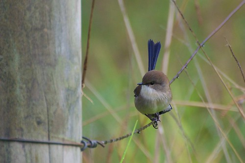 DSC_0170 - Superb Fairy Wren