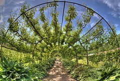 Arch of pear trees.. (charles4946) Tags: