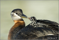 """Where did you come from?? (Earl Reinink) Tags: ontario canada art nature photography nikon flickr photographer nest image images earl flikr grebe d4 art"""" """"nikon photography"""" images"""" """"nature lens"""" ontario"""" canada"""" ontbirds """"fine """"earl photographer"""" lenses"""" grebe"""" reinink """"nesting reinink"""" d4"""" """"rednecked niagara"""" 201306191919"""