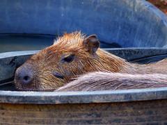 P1010275Axx (kanizfotolio) Tags: thailand nose zoo pig big rat bath asia southeastasia sink bangkok bowl thai chill biggest bangkokzoo