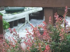 barberry (wards work) Tags: plant hail table cut deck railing thorn wi barberry survive manitowoc adverse 2013627 4wwc