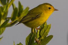 california birds female unitedstates morrobay yardbird wilsonswarbler identifiers wilsoniapusilla