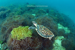 The sea turtle on anemone field (kampee_p) Tags: ocean school sea wild fish color green nature water beauty animal coral swim thailand island aquarium fan marine colorful warm underwater snorkel turtle wildlife group under dive hard deep scuba tropical diver aquatic fin reef sponge runner depth undersea similan seafan