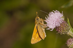 """Skipper Butterfly • <a style=""""font-size:0.8em;"""" href=""""http://www.flickr.com/photos/57024565@N00/9345063232/"""" target=""""_blank"""">View on Flickr</a>"""