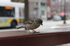This little guy showed no fear as he was eyeing my Chipotle. (TriciaSmith247) Tags: cambridge bus bird boston sparrow chipotlemexicangrill