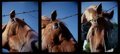 Agat 18K (Daniel Cane) Tags: horses horse pet pets colour eye film animal animals 35mm fence hair fur sussex wire eyes brighton fuji superia hove coat iso negative 35mmfilm 400 frame half barbedwire epson fujifilm analogue halfframe livestock barbed eastsussex barbedwirefence equine agat18k 400iso filmstrip 18k colournegative agat belomo c41 brightonandhove v500 fujicolour belomoagat18k epsonv500 agat18kmultiples