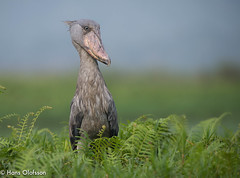 Shoebill  /Trskonbb (Balaeniceps rex) (Hans Olofsson) Tags: nature birds wildlife uganda shoebill ecotourism schuhschnabel ecotour balaenicepsrex mabambaswamp picozapato trskonbb trskonb