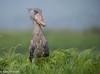 Shoebill  /Träskonäbb (Balaeniceps rex) (Hans Olofsson) Tags: nature birds wildlife uganda shoebill ecotourism schuhschnabel ecotour balaenicepsrex mabambaswamp picozapato träskonäbb træskonæb