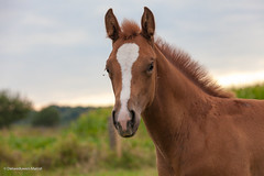 Young Horse (Den Boma Files) Tags: wild two horse brown plant color tree green nature beautiful grass animal standing landscape outside mammal stand flora colorful peace eating wildlife young meadow peaceful tranquility domestic pasture wildanimal strong equine calmness faune warmblood