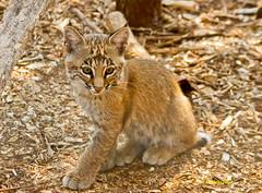 Orphan bobcat kitten (Lindell Dillon) Tags: oklahoma nature canon wildlife bobcat bobcatkitten eos7d reddirtpics lindelldillon wildcareoklahoma