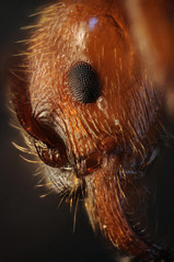 manica rubida (Michal Kukla) Tags: macro ant ants makro mrwka formicidae manica studar rubida pzo mrwki