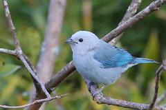 Azulejo (Thraupis episcopus) (Jos M. Arboleda) Tags: blue bird canon eos jose gray ave 5d azulejo tanager arboleda markiii thraupis episcopus passeriforme thraupidae mygearandme josmarboledac blinkagain ef400mmf56lusm14x