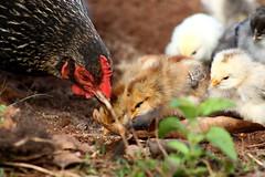 Gallus gallus domesticus - galinha e seus pintinhos (Eric Henrique - Pirajuí SP) Tags: brazil chicken brasil galinha sp chicks gallus domesticus pintinhos pintos interiordesãopaulo gallusgallusdomesticus pirajuí
