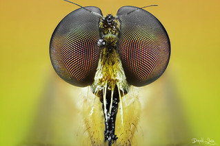 Yellow Robberfly