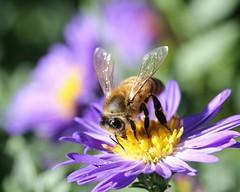 Honeybee on Aster (Memotions) Tags: autumn urban ontario canada macro nature field canon lens guelph september bee vision 60mm patty honeybee narrow t3i pollinator 2013 ohearn kickham
