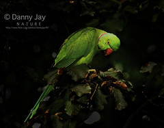 Parrot (dannyjay49) Tags: green bird nature parrot