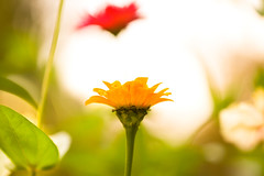 Center stage (SolsticeSol) Tags: flowers summer nature beautiful leaves sunshine yellow horizontal garden outdoors happy photography leaf colorful day bright bokeh sunny nopeople dreamy serene zinnia cheerful zinnias colorimage zinniaflowers beautifulflowerpictures beautifulflowerimages