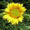 Sunflower (Nigel_Brown) Tags: uk greatbritain england lumix unitedkingdom hampshire panasonic sunflower gb newforest beaulieu stockphoto 2013 nigelbrown dmctz8 tz8 patrickspatch
