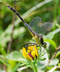 Black-shouldered Spinyleg (Dromogomphus spinosus) (monon738) Tags: macro nature closeup bug insect wings pentax dragonfly wildlife indiana k5 odonata 100mmmacro gomphidae dromogomphus lagrangecounty smcpdfa100mmf28 blackshoulderedspinyleg dromogomphusspinosus pigeonriverfishandwildlifearea spinylegdragonfly