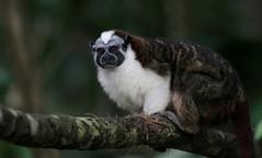 Panama: Geoffroy's Tamarin (spiderhunters) Tags: panama primate tamarin newworldmonkey canalzone saguinusgeoffroyi geoffroystamarin