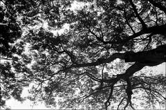 Guadeloupe   Été 2013 (Aurélien Désert) Tags: leica blackandwhite bw noiretblanc kodak trix nb 40mm ilford cl 240 summicronc leitz lc29