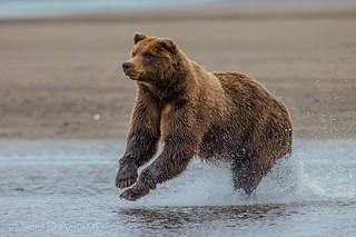 Bear-ly Splashing 2790