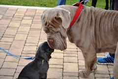 DSC_5907 (Large) (Renato De Iuliis) Tags: mostra chieti canina internazionale 2013 exp