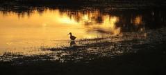 lost at dusk (saudades1000) Tags: sunset reflection bird nature silhouette lost dusk natureza sandpiper passaro