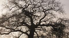 Eiche 1 (5) - an meinem Weg zum Bcker; Bergenhusen im November (Chironius) Tags: stapelholm bergenhusen schleswigholstein deutschland germany allemagne alemania germania   ogie pomie szlezwigholsztyn niemcy pomienie eiche baum bume tree trees arbre  rbol arbres  rboles albero quercus oak chne  roble quercia rovere ek carvalho mee eik   rvore aa boom trd gegenlicht deutscheeiche quercusrobur stieleiche rosids fabids buchenartige fagales buchengewchse fagaceae silhouette