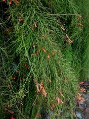 Bunga air mancur (Nelindah) Tags: plantaginaceae russeliaequisetiformis coralplant firecrackerplant taxonomy:family=plantaginaceae geo:country=indonesia taxonomy:binomial=russeliaequisetiformis nelindah benqac100 bungaairmancur