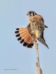 American Kestrel (MyKeyC) Tags: bird nature birds hawk preening falcon americankestrel kestrel birdofprey greencay aaacolbirds