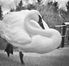 """S"" is for Swan (L E Dye) Tags: bw canada swan nikon s alberta d5100 ledye 44letter 113picturesin2013"