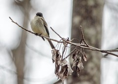 Eastern Phoebe (Maggggie) Tags: easternphoebe bird winter branch explored