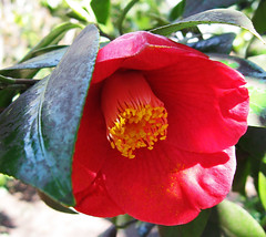 Camellia (Puzzler4879) Tags: flowers camellia bbg brooklynbotanicgarden botanicalgardens pointshoot botanicgardens canonpowershot camellias canondigital canonaseries canonphotography canonpointshoot a580 canona580 canonpowershota580 powershota580