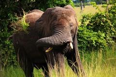 Angry in Zambia (robotsattack) Tags: africa travel elephant photography wildlife awesome safari angry terrence elephants duncan zambia 2012 mfuwe mfuwelodge terrenceduncan terrenceduncancom