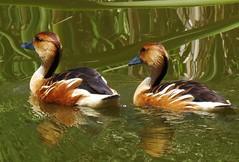 patos (Jakza) Tags: gramadozoo aves animais ato dois reflexos nature nanaturezainnature frenteafrente duel factorywinner x2 friendlychallenges perpetualchallenge