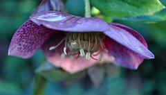 In a haze... (littlestschnauzer) Tags: uk flowers winter plants detail macro petals spring nikon purple yorkshire elements hellebore february raindrop hardy helleborus 2014 d5000 {vision}:{outdoor}=0701 {vision}:{flower}=0581