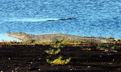 Crocodile (62) - Belize 2014 - Turneffe Atoll - Blackbird Caye (mastrfshrmn) Tags: ocean life sea beach colors birds animals canon island photo sand scenery paradise belize wildlife picture photograph tropical crabs creatures hdr reptiles centralamerica atoll 70d turneffeisland turneffeatoll blackbirdcaye